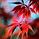 Japanese Red Maple by LudaNayvelt