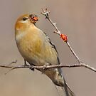 Pine Grosbeak. by Daniel Cadieux
