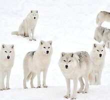 Family Portrait - Arctic Wolves by Poete100