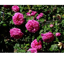Madame Isaac Periere Rose Photographic Print