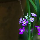 Light in the shade - Primula Purple by Clare Colins