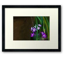 Light in the shade - Primula Purple Framed Print