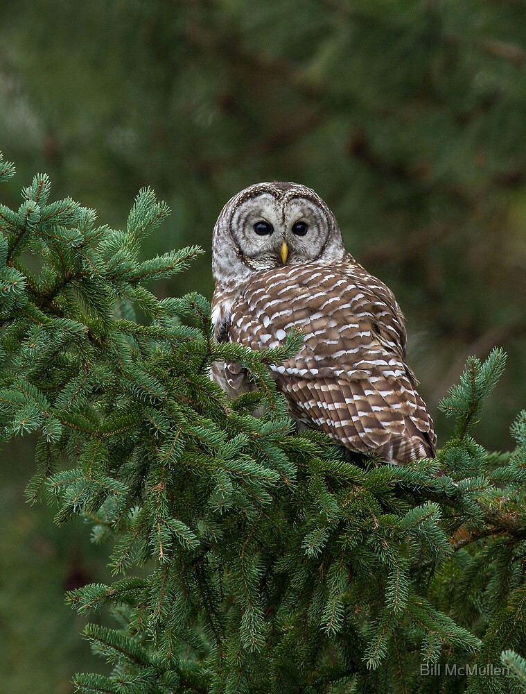 Barred Owl Spruced Up by Bill McMullen