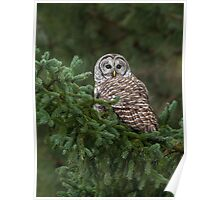 Barred Owl Spruced Up Poster