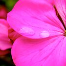 Pink Geranium by Michelle Ricketts