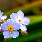 Forget-me-nots by Michelle Ricketts