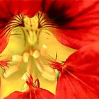 Red Nasturtium by Michelle Ricketts