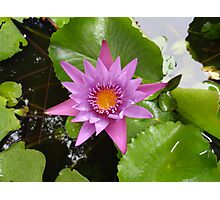 Honolulu Water Lily  Photographic Print