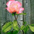 Double Delight Rose by Michelle Ricketts