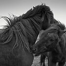 Icelandic Horses, Study 2 by Randy  Le'Moine