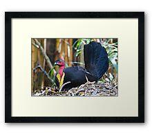 Australian Brush-turkey (male) Framed Print