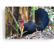 Australian Brush-turkey (male) Canvas Print