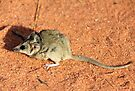 Stripe-faced Dunnart (Sminthopsis macroura) by Hannah Nicholas