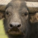 Water Buffalo by AngelaHumphries