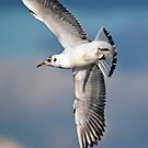 Black-headed Gull by M.S. Photography & Art