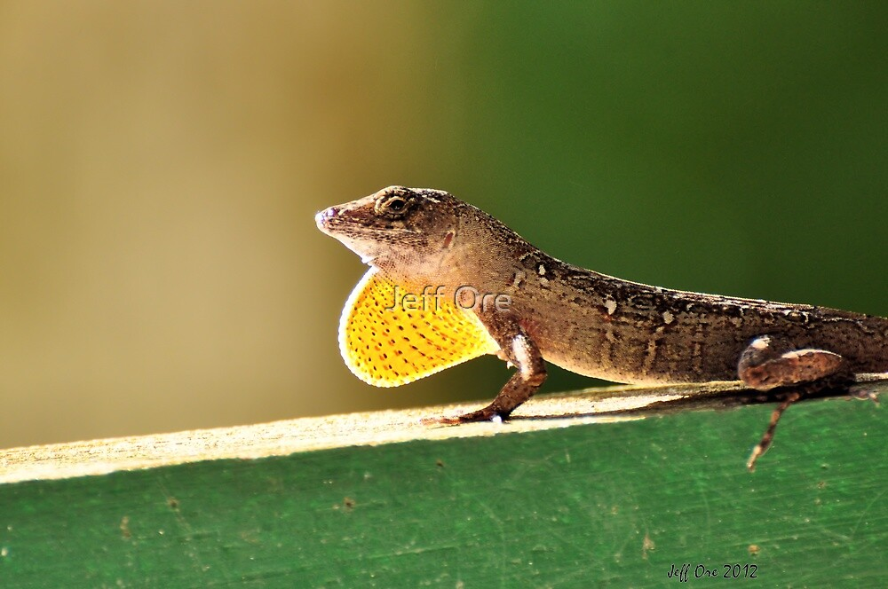 Brown Cuban Anole by Jeff Ore