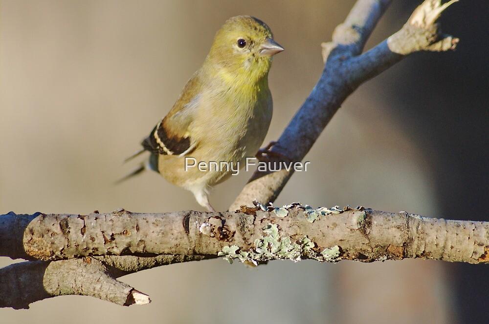 American goldfinch by Penny Rinker