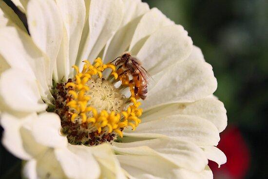 Honeybee on Zinnia by AbigailJoy