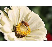Honeybee on Zinnia angle 2 Photographic Print
