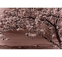 cherry blossoms over English Bay, Vancouver Photographic Print