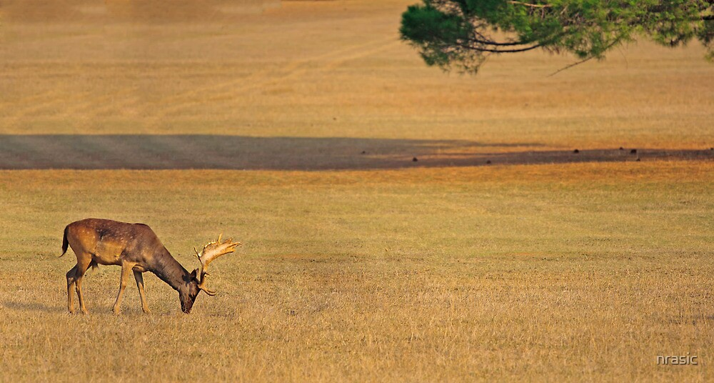 Deer on the grassland by nrasic