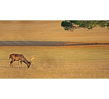 Deer on the grassland Photographic Print