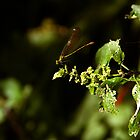 Dragonfly by ollodixital
