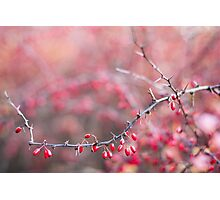 Red barberries Photographic Print