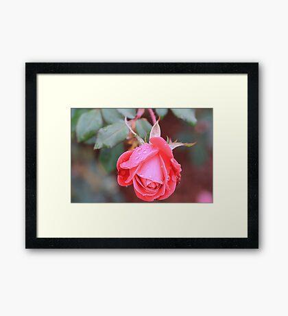 knockout rose Framed Print