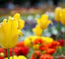 Yellow Tulips  by -aimslo-