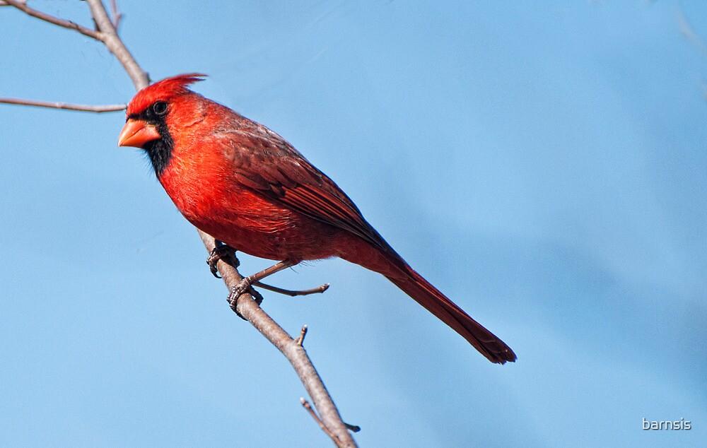 Male Cardinal by barnsis