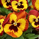 Pansy Faces by -aimslo-