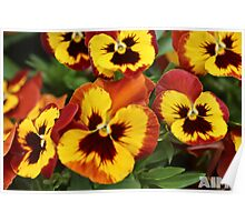 Pansy Faces Poster