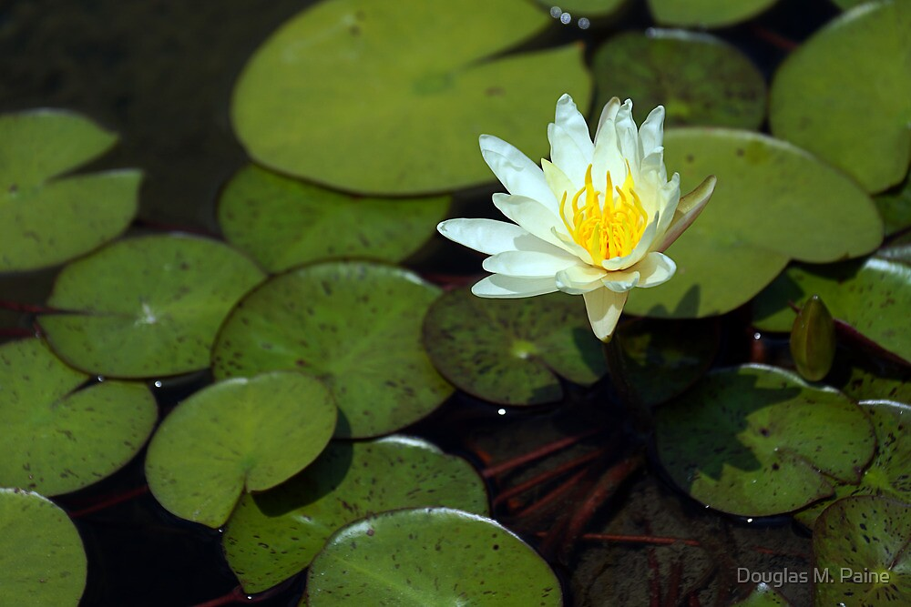 Lonely Water Lily by Alphafish