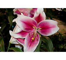 Pink Tiger Lily Photographic Print