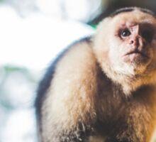 White-Faced Capuchin Monkey Sticker