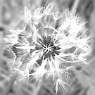 Dandelion Seedhead by Michelle Ricketts
