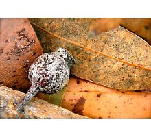 Gumnut Photographic Print