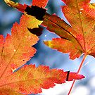 Maple Leaves by Michelle Ricketts