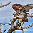 Raptor Flight by Barbara Manis