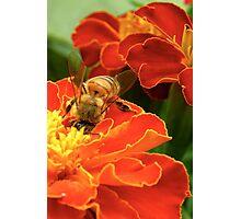 Marigold Bee Photographic Print