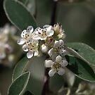 Tiny White Flowers by Joy Watson