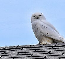 """Amber"" The Snowy Owl by Chris Coates"