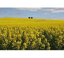 Canola fields Photographic Print