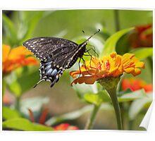 Black Swallowtail Poster
