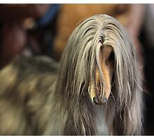afghan hound Photographic Print