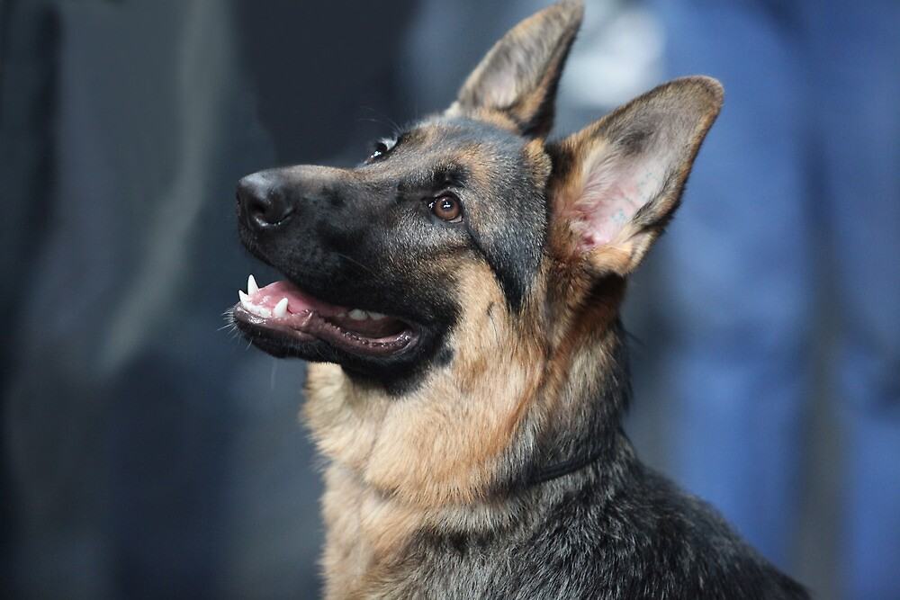 German shepherd by mrivserg