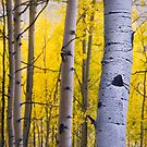 Fall Forest Aspens by John  De Bord Photography