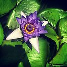 Purple Waterlily Flower by tropicalsamuelv