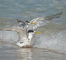 Crested terns in the waves by Jennie  Stock